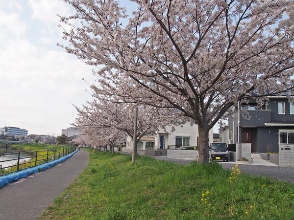 茂原の桜 2018.3.31